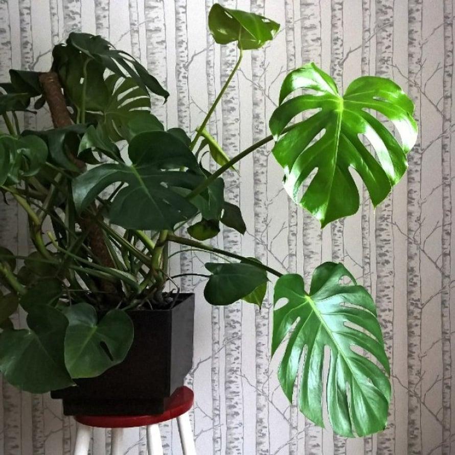 @aina_ilonan kodissa luontoteema korostuu, kun kasvin takana oleva tapetti on metsäaiheinen.