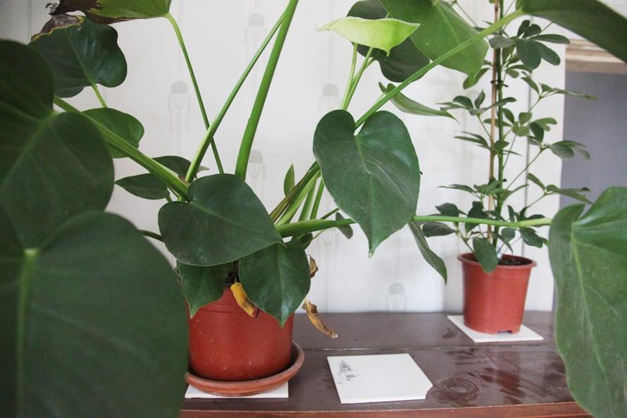 suutarin talossa; siivoustalkoot; viherkasvit