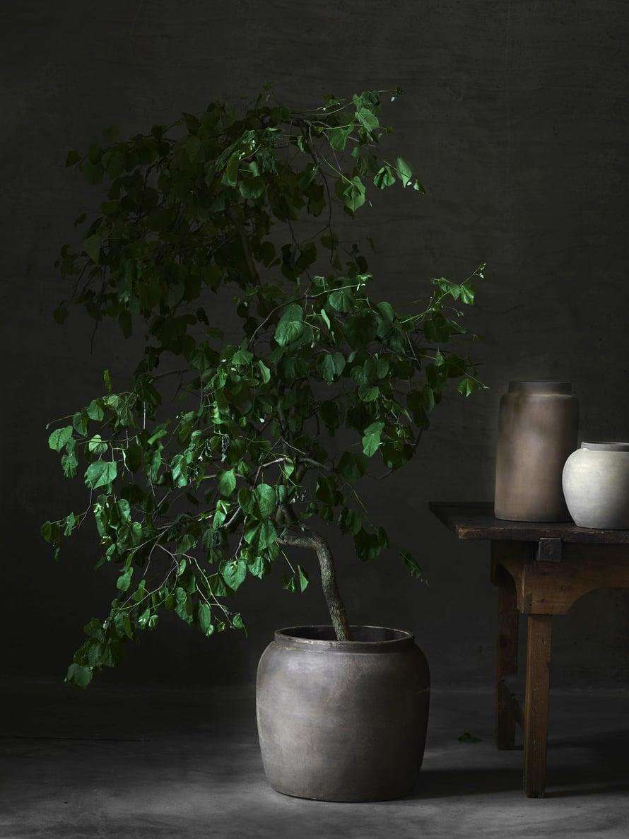 Jos et ole  viherpeukalo, mutta haluat olla sisustustrendien aallonharjalla, panosta yhteen kasviin. Puumainen kasvi on näyttävä elementti , etkä tarvitse koko ikkunalaudan täyttävää sommitelmaa. Ruukut  Tine K Home.