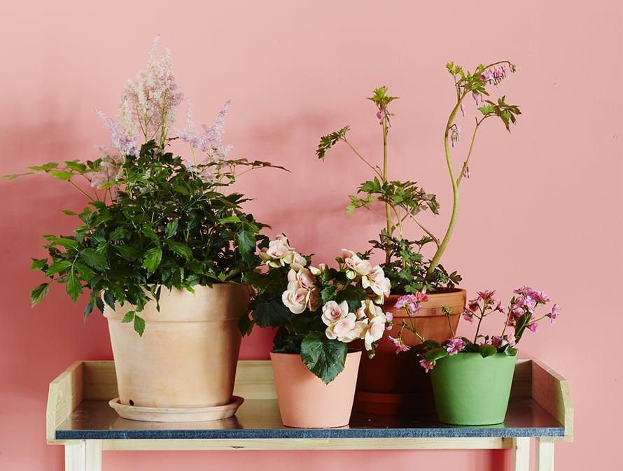 Kukkapenkin uusvanhat tulokkaat: jaloangervo, begonia, särkynytsydän ja levisia, Plantagen. Ruukut Plantagen ja Olkkari. Istutuspöytä Granitista.