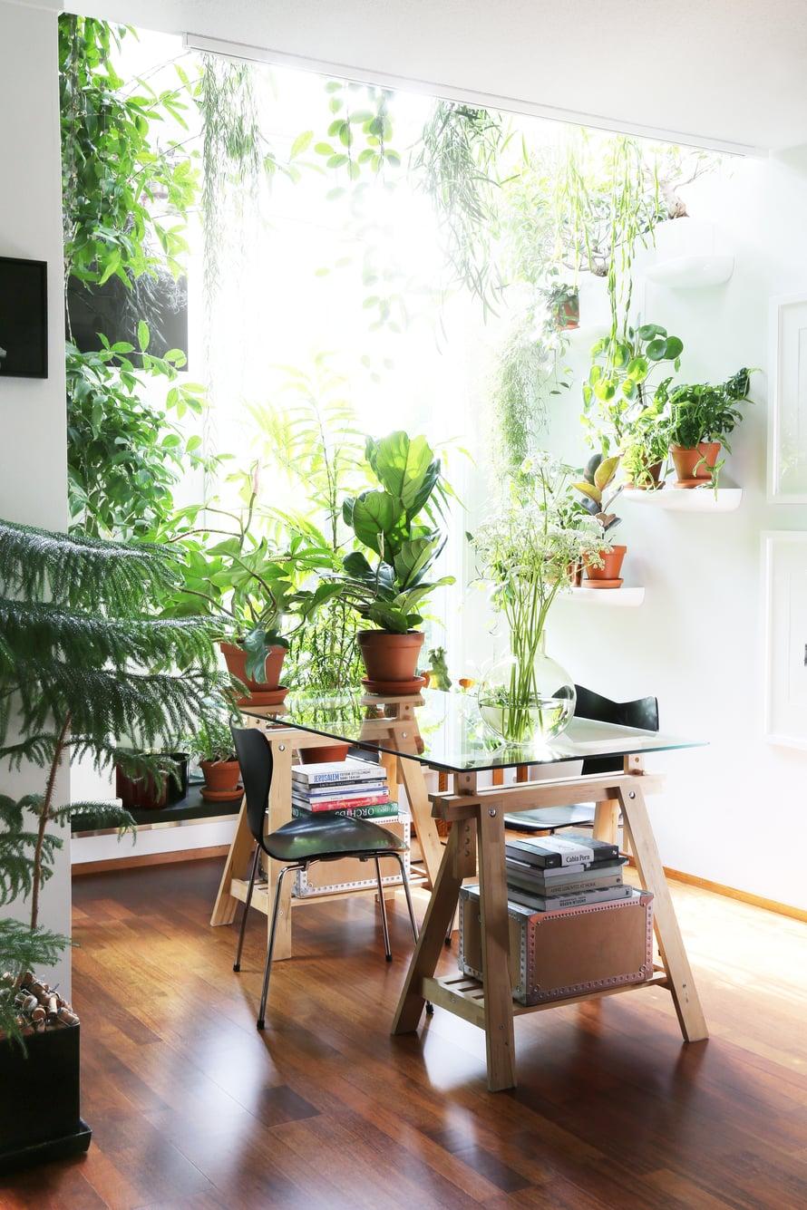 Lähes kuusi metriä korkea ruokailutila on viherkasveista vehreä. Nurkan takana vasemmalla pilkottaa yli kolmeen metriin kurottautuva täplätraakkipuu, jonka Rami on kasvattanut pistokkaasta. Etualan havupuu on araukaria.